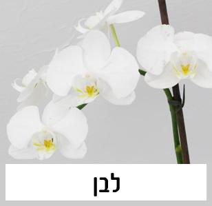 סחלב פלאנופסיס בצבע לבן