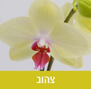 סחלב פלאנופסיס בצבע צהוב