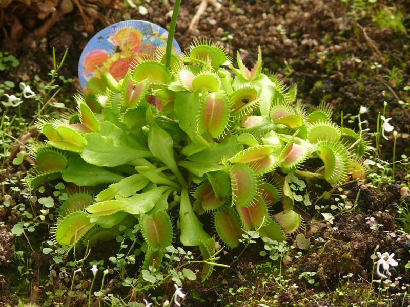 צמח טורף דיונאה