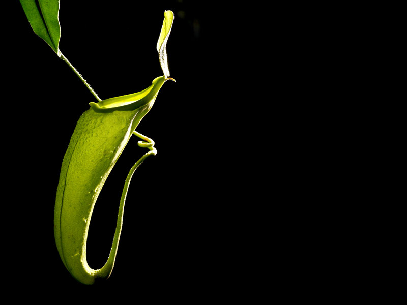 צמח טורף כדנית