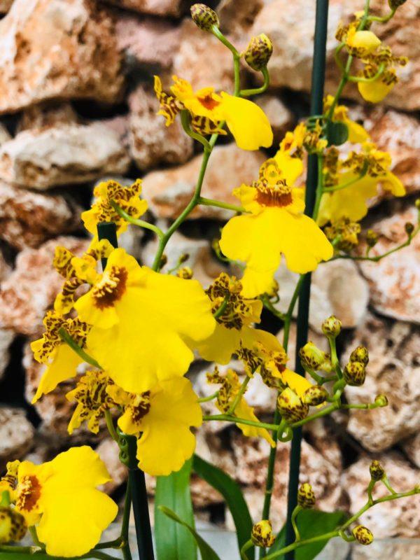 סחלב אונסידיום צהוב