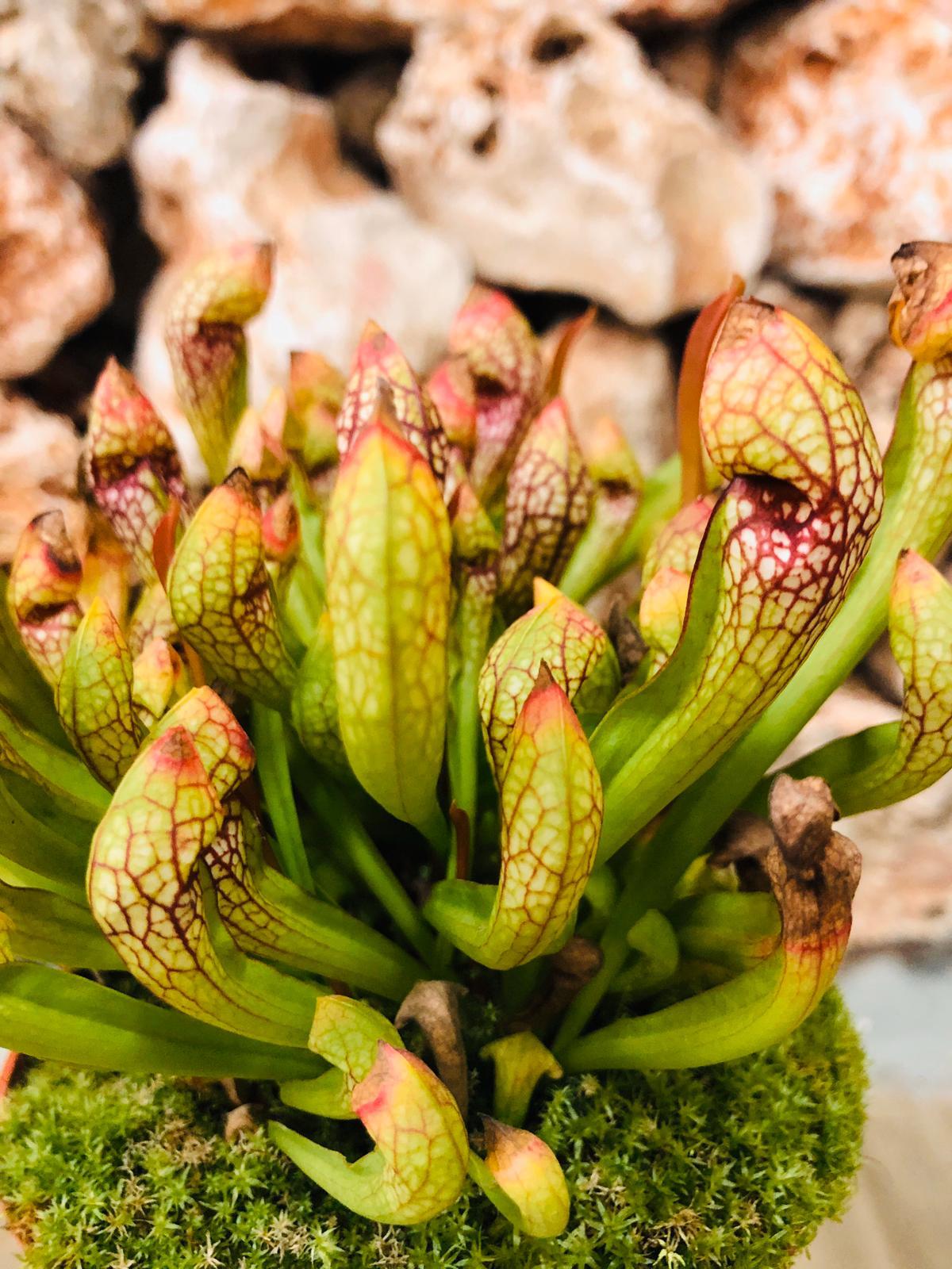 צמח טורף שופרית