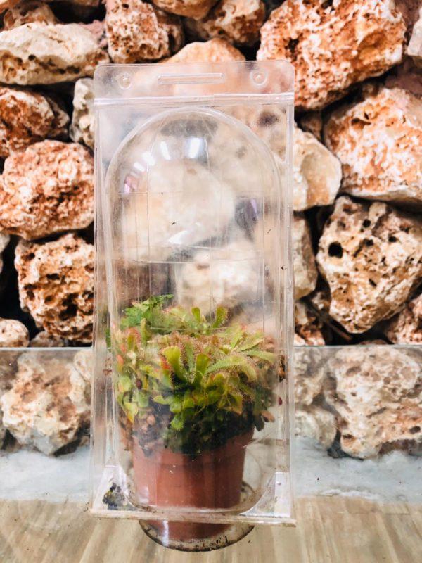 צמח טורף טללית