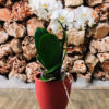 סחלב פלאנופסיס לבן מידי שני ענפים בכלי דקורטיבי בצבע אדום מט
