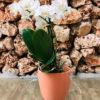 סחלב פלאנופסיס לבן מידי שני ענפים בכלי דקורטיבי בצבע אפרסק