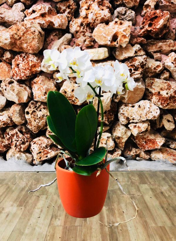 סחלב פלאנופסיס לבן מידי שני ענפים בכלי דקורטיבי בצבע כתום