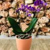 סחלב פלאנופסיס סגול מידי שני ענפים בכלי דקורטיבי בצבע אפרסק