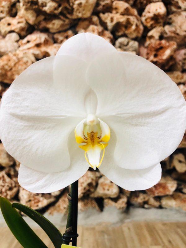 סחלב פלאנופסיס לבן עם פרח אחד ענק בכלי דקורטיבי