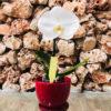 סחלב פלאנופסיס לבן עם פרח אחד ענק בכלי דקורטיבי אדום