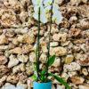 """סחלב פלאנופסיס לבן שני ענפים בגובה 75 ס""""מ בכלי דקורטיבי בצבע תכלת"""