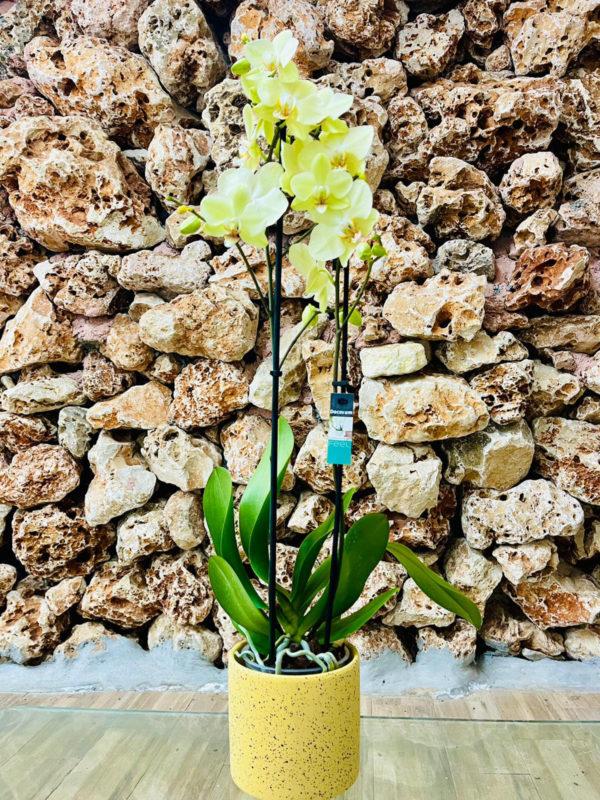 """סחלב פלאנופסיס צהוב שני ענפים בגובה 75 ס""""מ בכלי דקורטיבי בצבע צהוב"""
