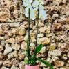 """סחלב פלאנופסיס לבן שני ענפים בגובה 75 ס""""מ בכלי דקורטיבי ורוד"""
