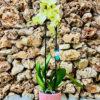 """סחלב פלאנופסיס צהוב שני ענפים בגובה 75 ס""""מ בכלי דקורטיבי בצבע ורוד"""