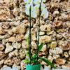 """סחלב פלאנופסיס לבן שני ענפים בגובה 75 ס""""מ בכלי דקורטיבי ירוק"""
