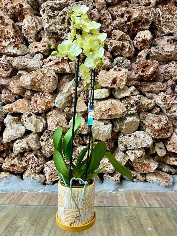"""סחלב פלאנופסיס צהוב שני ענפים בגובה 75 ס""""מ בכלי דקורטיבי בצבע צהוב זברה"""