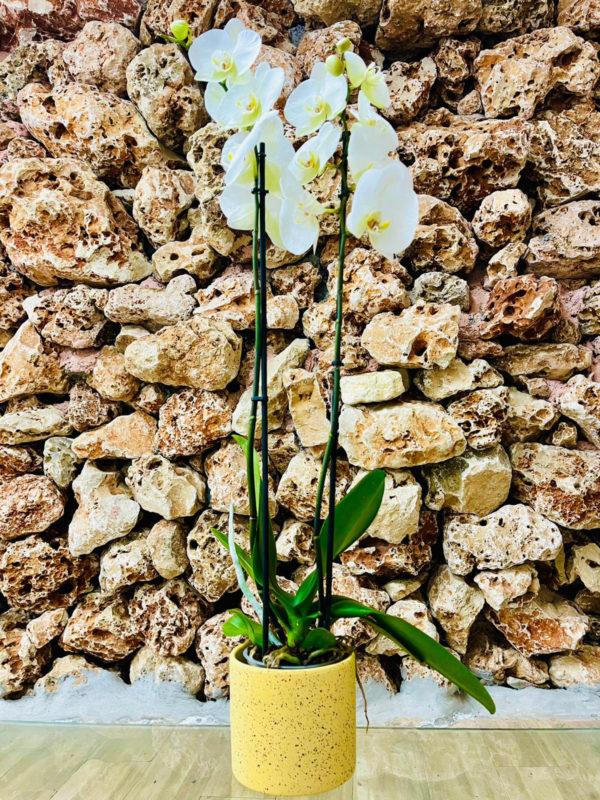 """סחלב פלאנופסיס לבן שני ענפים בגובה 75 ס""""מ בכלי דקורטיבי צהוב"""
