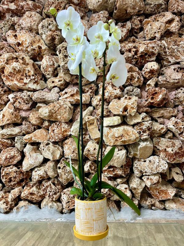 """סחלב פלאנופסיס לבן שני ענפים בגובה 75 ס""""מ בכלי דקורטיבי זברה צהוב"""