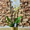 """סחלב פלאנופסיס לבן מהודר שני ענפים על קשת בגובה 80 ס""""מ בכלי דקורטיבי זכוכית זהב"""