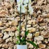 """סחלב פלאנופסיס לבן שני ענפים בגובה 75 ס""""מ בכלי דקורטיבי בצבע לבן"""
