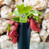 צמח טורף נפנטס (כדנית) בלאדי מרי גדולה בקונוס