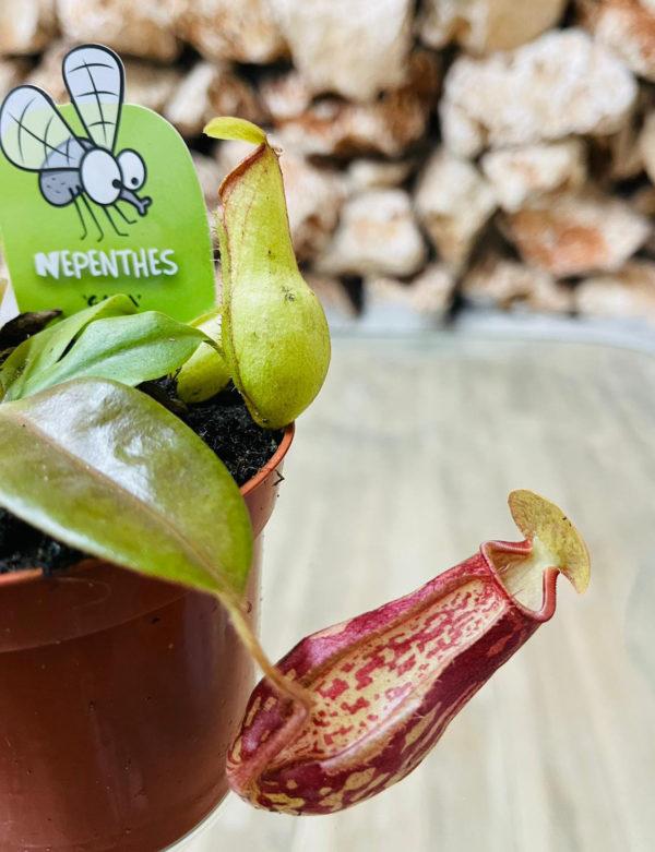 צמח טורף נפנטס (כדנית) גאיה