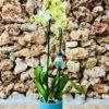 """סחלב פלאנופסיס צהוב שני ענפים בגובה 75 ס""""מ בכלי דקורטיבי בצבע תכלת"""