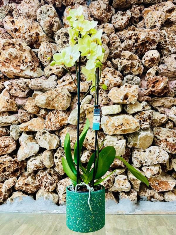 """סחלב פלאנופסיס צהוב שני ענפים בגובה 75 ס""""מ בכלי דקורטיבי בצבע ירוק"""