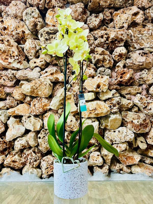 """סחלב פלאנופסיס צהוב שני ענפים בגובה 75 ס""""מ בכלי דקורטיבי בצבע לבן"""