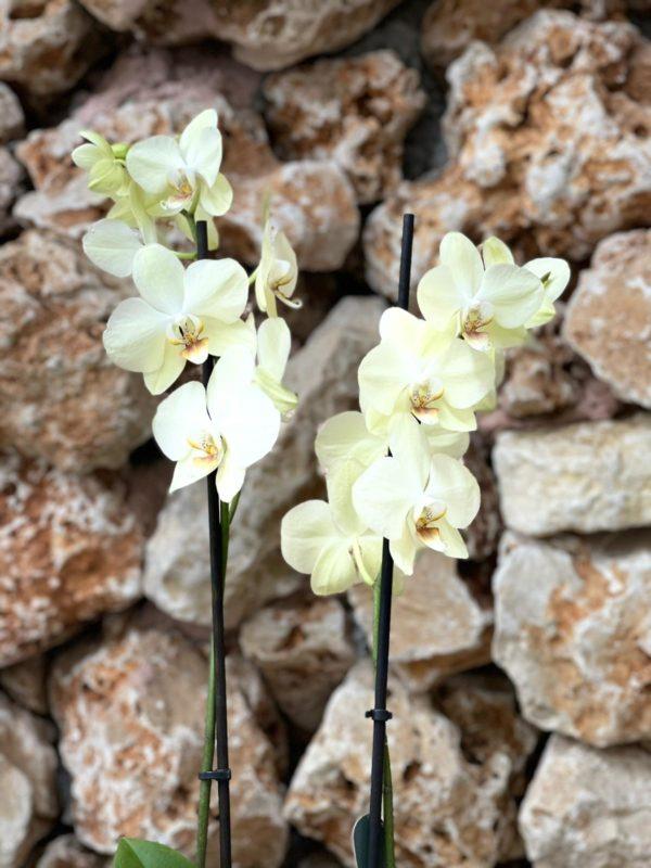 """סחלב פלאנופסיס צהוב שני ענפים בגובה 75 ס""""מ בכלי דקורטיבי"""