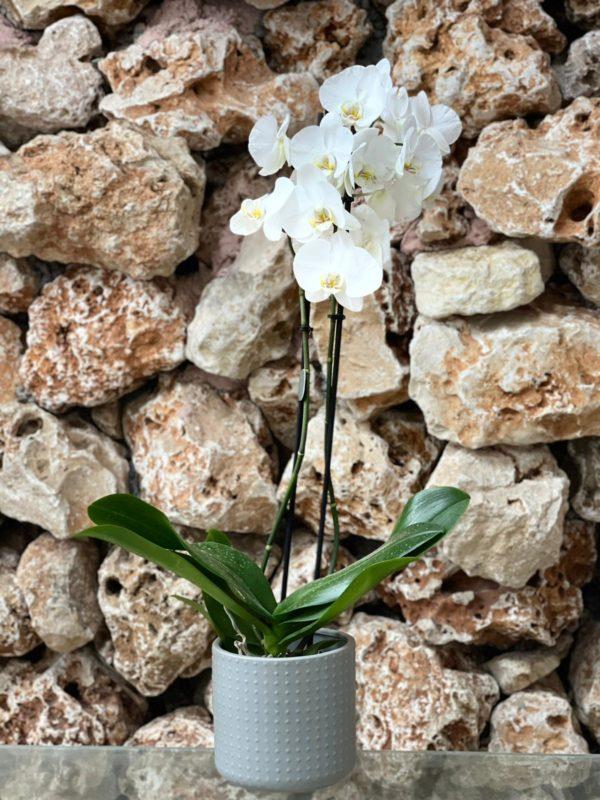 """סחלב פלאנופסיס לבן שני ענפים בגובה 75 ס""""מ בכלי דקורטיבי"""